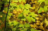 red oak leaves turning yellow poster