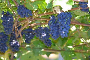 weinreben - weintrauben in blau / rot