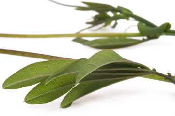 ivy. passiflora