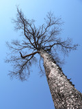 bare larch tree poster