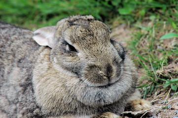 snowshoe hare 1