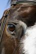 Fototapeta Holsztyn - Spojrzenie - Zwierzę domowe
