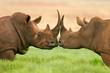 Quadro white rhinoceros