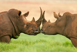 Fototapety white rhinoceros