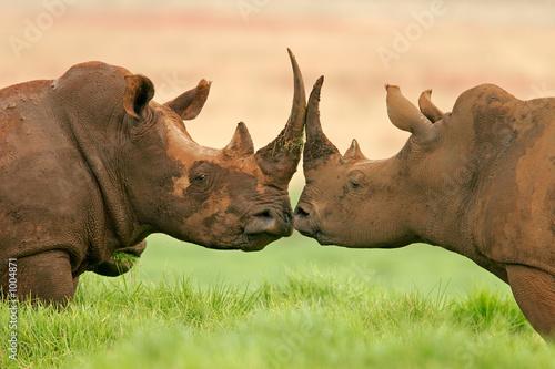Poster white rhinoceros