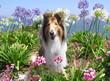 roleta: rough collie in flowers