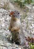 the ground squirrel guard poster