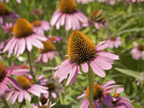 cone flower close-up poster