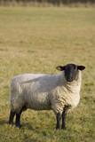 black faced sheep poster