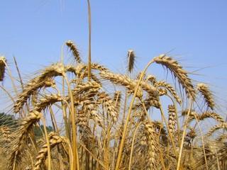 touffe de blé