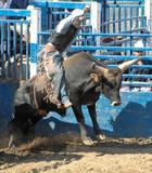 bull calf and teenage rider poster