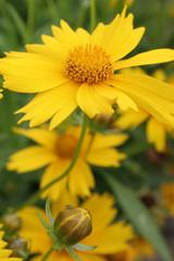 yellow flower with rosebud