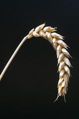 getreideähre weizen