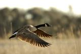 canada goose in flight poster