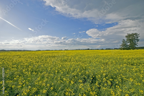beautiful canola field