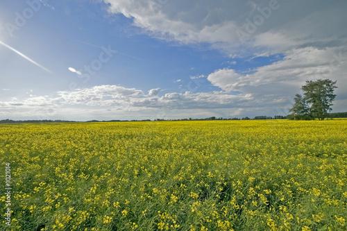 beautiful canola field
