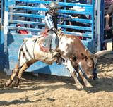bull calf & rider poster