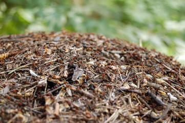 ants hill