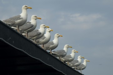 gulls in line with shallow dof