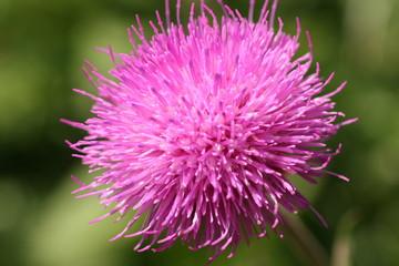 auffällige lila distelblüte