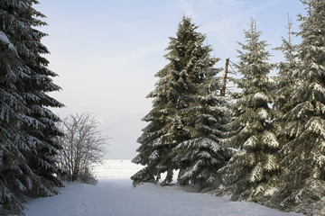 snowy fir trees (pines)