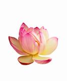 Fototapete Flora - Seerose - Wasserpflanze