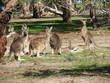 mob of roos