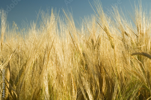ripe golden wheat field 4