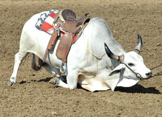 brahma bull kneeling