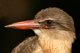 brown-hooded kingfisher poster