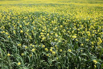 rows and rows of mustard flowers