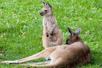 young joey with mum