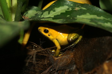 yellow frog under leave