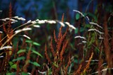 umber weeds poster