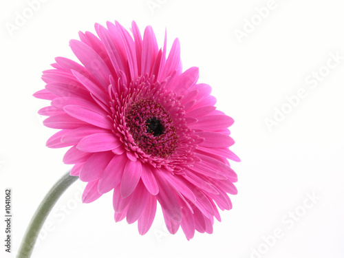 In de dag Gerbera pretty in pink