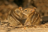striped mice poster