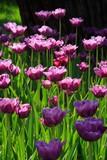 pink diamond tulips poster