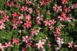 stripe trumpet flowers poster