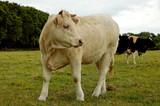 veau dans le pres look right poster
