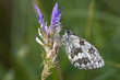 closeup of a marbled white butterfly