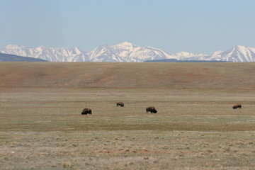 buffalo,plains,mountain,mammal,animal,bison,herd,c