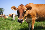 jersey cow in pasture poster
