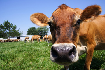 jersey cow grazing