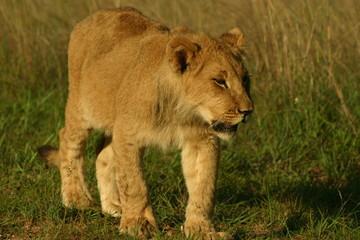 cub walk