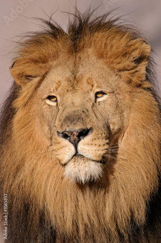 Leinwandbild Motiv big male lion