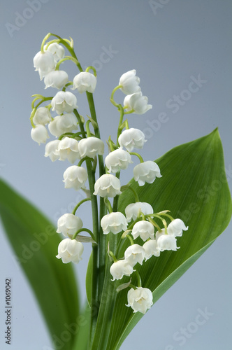 Deurstickers Lelietje van dalen flower