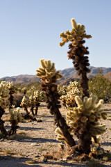 cactus in joshua tree national park