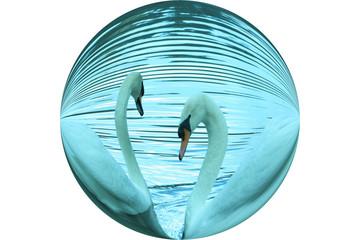 swan swimming round