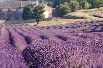 lavender fields in fornt of monastery