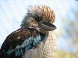 blue winged kookaburra poster